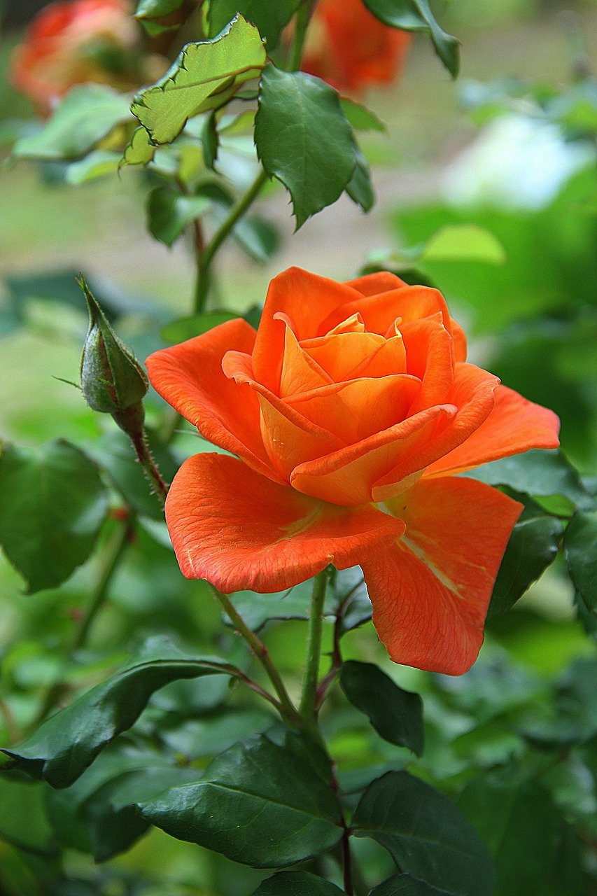 rose, orange, flower