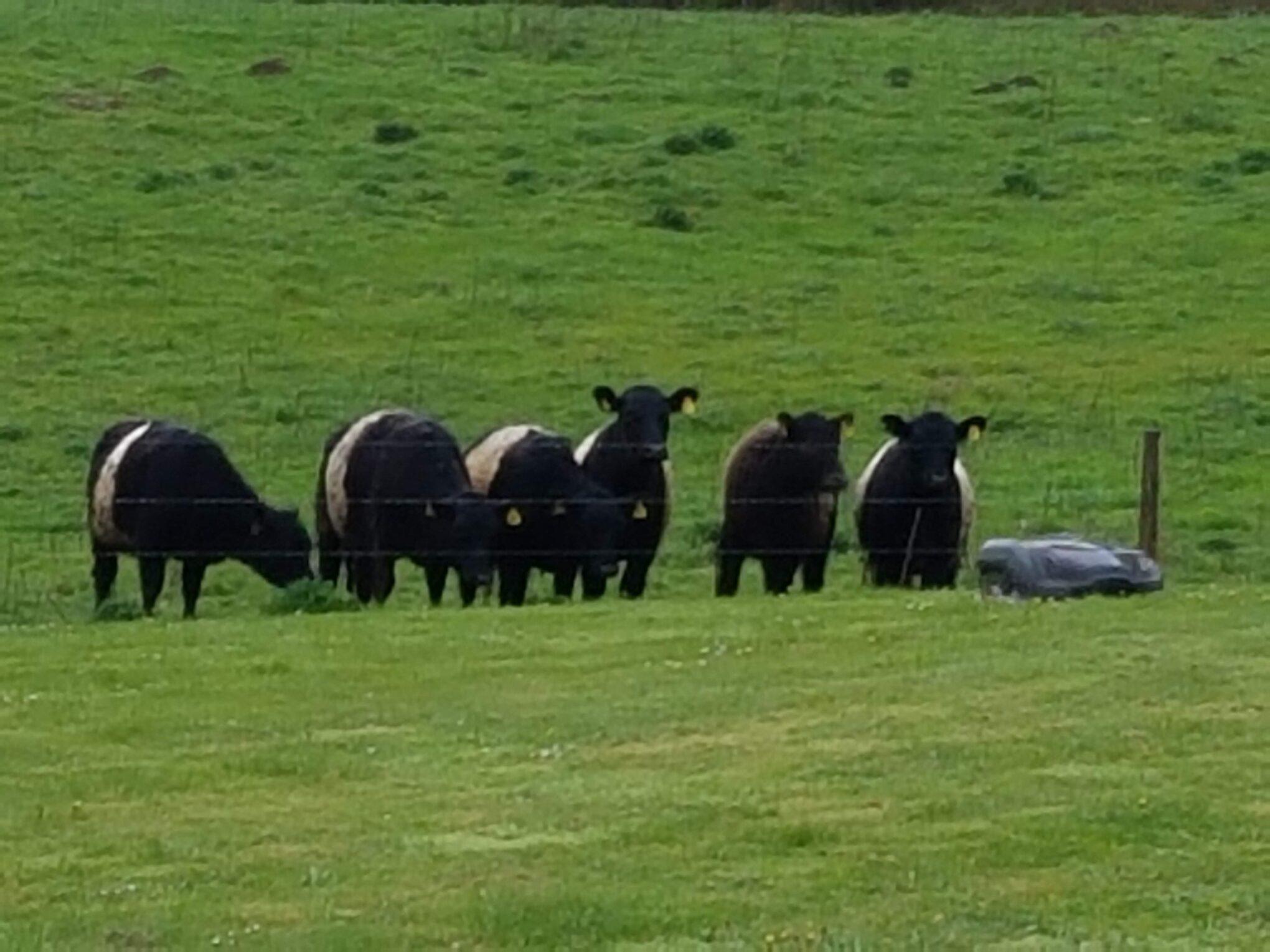 Billede af køer