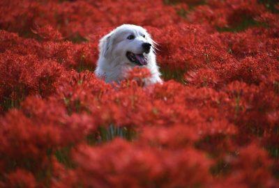 animal, flowers, dog-6637774.jpg